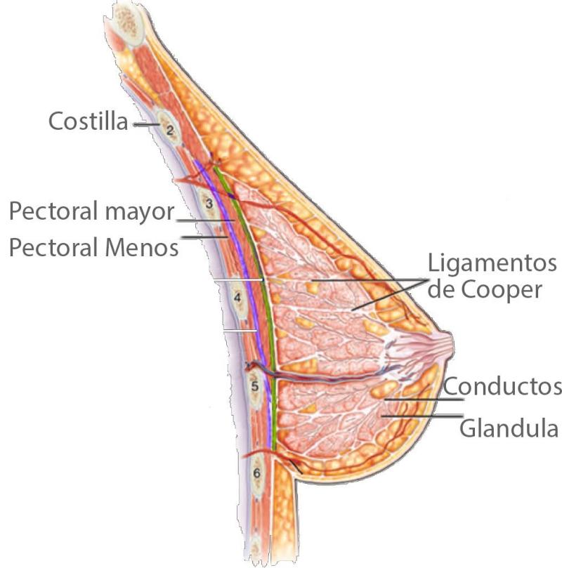 evitar la manipulación de la glándula mamaria